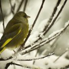 Green Finch